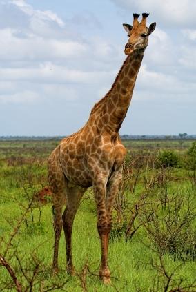 Giraffexsmall